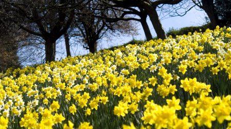 daffodils, flowers, slope