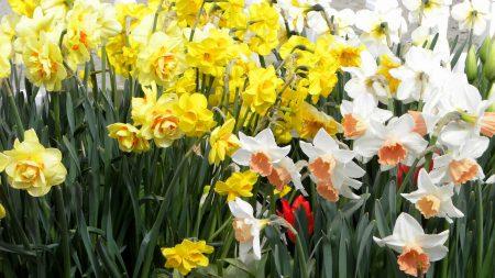 daffodils, flowers, white