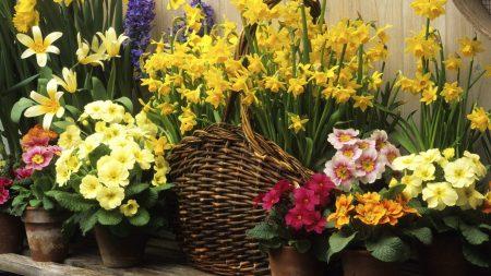 daffodils, hyacinths, flowers