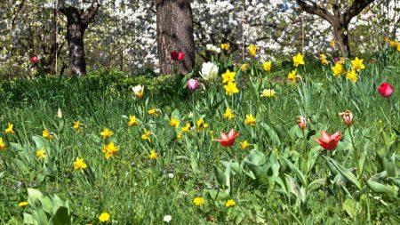 daffodils, tulips, flowers