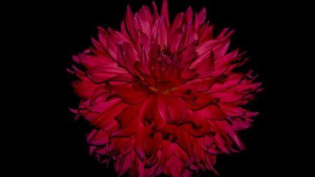 dahlia, flower, bud