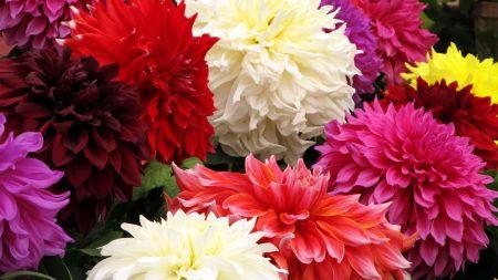 dahlia, flower, close up