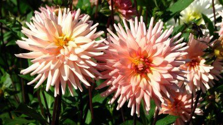 dahlia, flower, flowerbed