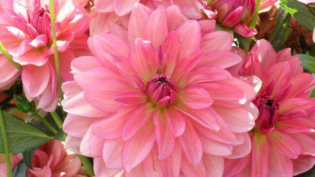 dahlia, petals, pink