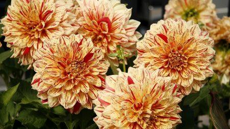 dahlias, flower, bright