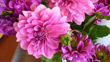 dahlias, flowers, bright