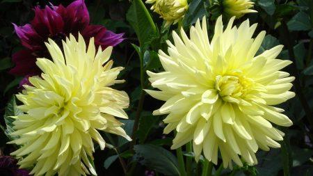 dahlias, flowers, buds