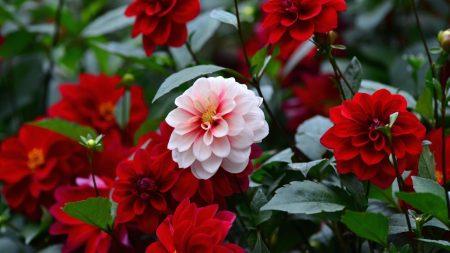 dahlias, flowers, colorful
