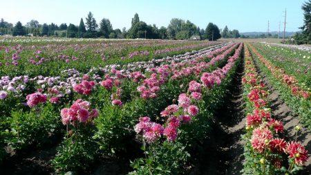 dahlias, flowers, field
