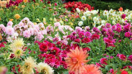 dahlias, flowers, flowerbed