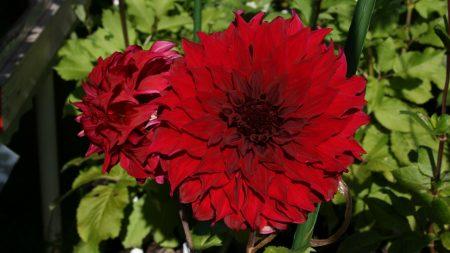 dahlias, flowers, garden