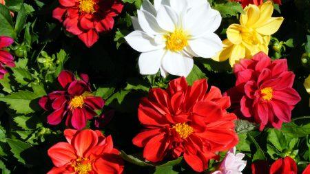 dahlias, flowers, herbs