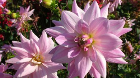 dahlias, flowers, loose