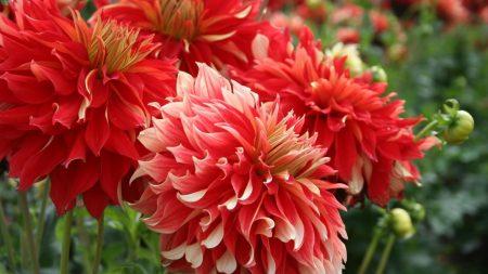 dahlias, flowers, red