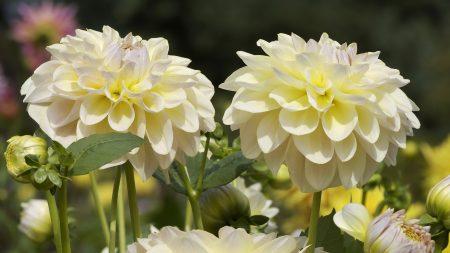 dahlias, flowers, white