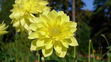 dahlias, flowers, yellow