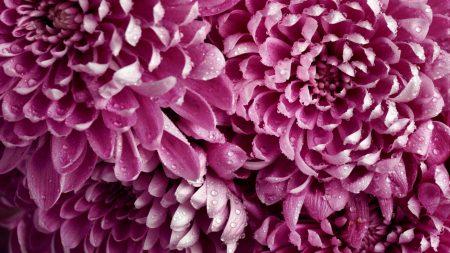 dahlias, pink, buds