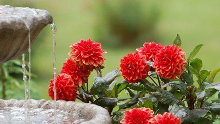 dahlias, water, fountain