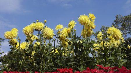 dahlias, yellow, flowers