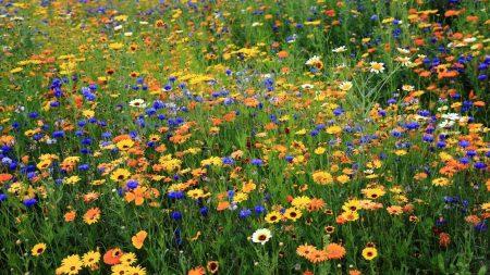 daisies, cornflowers, flowers