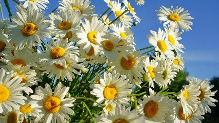 daisies, flower, sky
