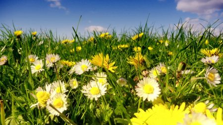 daisies, flowers, fields