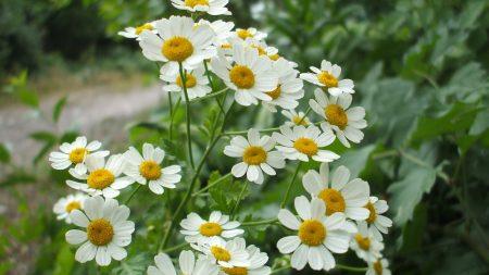 daisies, flowers, herbs