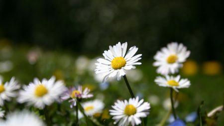 daisies, flowers, meadow