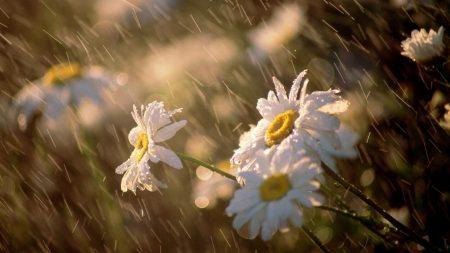 daisies, flowers, rain