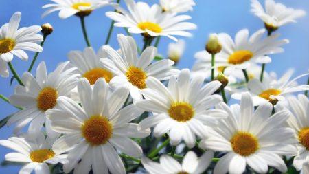 daisies, flowers, sky
