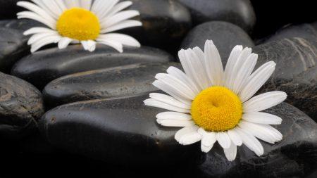 daisies, flowers, stones