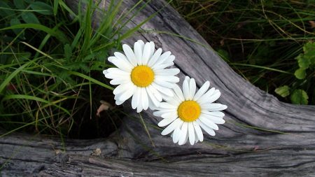 daisies, flowers, timber