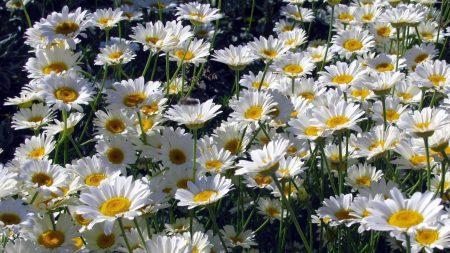 daisies, flowers, white
