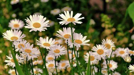 daisies, meadow, flowers