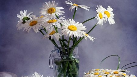 daisies, much, bouquets