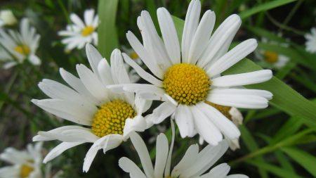 daisies, petals, flowers