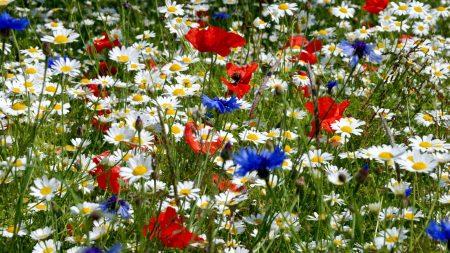 daisies, poppies, cornflowers