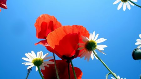 daisies, poppies, sky