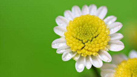 daisies, yellow, white