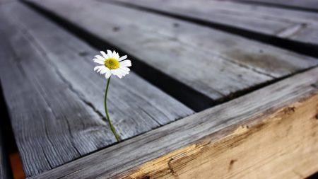 daisy, flower, boards