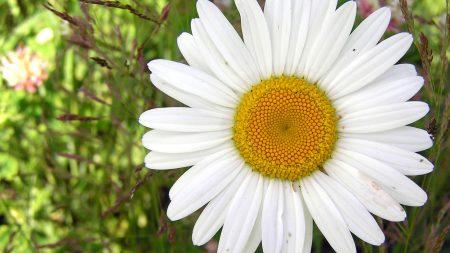 daisy, flower, close-up