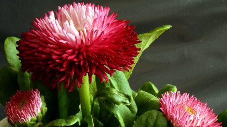 daisy, flower, green