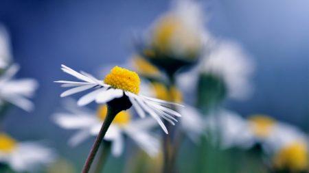 daisy, flower, macro