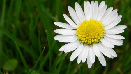 daisy, flower, meadow