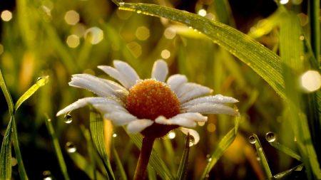 daisy, wet, dew