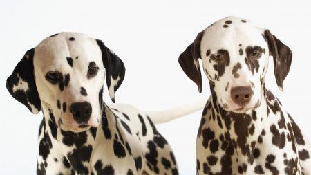 dalmatians, couple, dogs