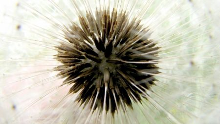 dandelion, dry, bud