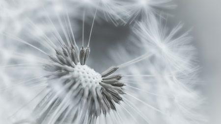 dandelion, flower, feathers
