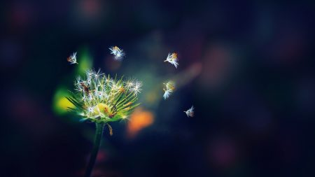 dandelion, flower, flying