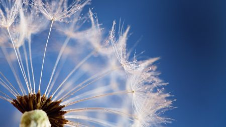 dandelion, flower, sky